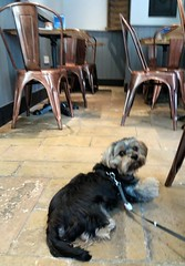 Flo Yorkie Poo Dog  at The Daily Grind Oakham Rutland (@oakhamuk) Tags: flo yorkie poo dog