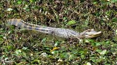 Gator Sighting (Suzanham) Tags: reptile alligator gator juvenile grinning animal swimming vegetation reptilian mississippi deepsouth wetlands marsh prehistoric noxubeenationalwildliferefuge canonpowershotsx60hs