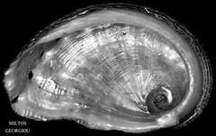 Shell (MilDas) Tags: macro shell close up black white