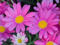 Pink daisies (PriscillaBurcher) Tags: bellis pinkdaisieswithyellowcenter pinkdaisies pinkdaisy daisy rosendalsträdgård stockholm l1700337 ngc