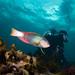 Photobomber - Notolabrus gymnogenis #marineexplorer