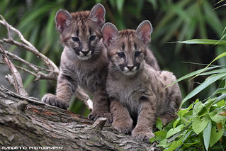 Two mountain lion cubs - Olmense Zoo