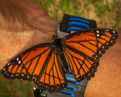 (iPhone) Viceroy on my Garmin 920XT Watch. (Roy Cohutta) Tags: red viceroy butterfly limenitis archippus garmin 920xt watch insect lepidoptera brushfoots brushfootedbutterflies nymphalidae nymphalinae
