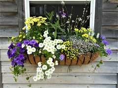 Wheaton, IL, Cantigny Park, Idea Garden, Shed, Window Box Flowers (Mary Warren (8.7+ Million Views)) Tags: wood wheatonil cantignypark summer garden ideagarden shed windowbox planter white yellow purple blooms blossoms flowers