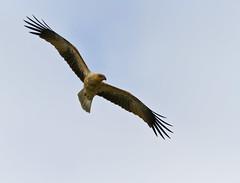 Whistling Kite - Haliastur sphenurus (Trace Connolly) Tags: haliastursphenurus kite australia whistlingkite