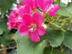 Pollen Season (Helenɑ) Tags: geranium flower garden pollen