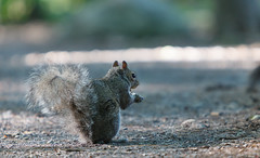 Squirrel (Asif A. Ali) Tags: canon70200mm mudlake ottawa canoneos5dmarkii teleconverter canon extenderef2xiii wildlife canada britanniaconservation asifalicom asifaali photography telephoto lens