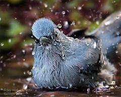 beautiful-sibia_20170101-51440- (jay8007) Tags: birds wildlfe bathing
