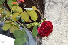 "La rose rafraîchie (Brigitte .. . ""Tatie Clic"") Tags: 2017060311 juin printemps fleur fleurdujardin roserouge pluie gouttedeau rouge"