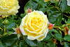 Roses (claude 22) Tags: flores fleurs flowers colours couleurs nature bokeh vert green roses blumen fiori 花卉 blommor フラワーズ claude22 jaune yellow gelb 黄 gul amarillo giallo 黄色