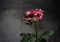 Rose bicolore (phonia20) Tags: fleur rose couleur color flower nature studio beauté naturelle petale feuille pentax pentaxart amour amitié tendresse art
