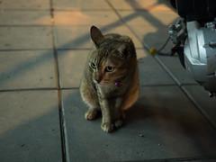 P7151111 (tatsuya.fukata) Tags: thailand samutprakan cat animal