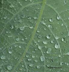 Raindrops (jeannette.dejong) Tags: ngc naturelovers nederland natuur groen gelderland blad druppels