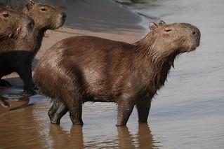 Capybara On The Shore (Hydrochoerus hydrochaeris)