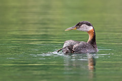 Red necked grebe (ayres_leigh) Tags: wildlife explore nature grebe toronto humber water canon 400mm