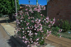 Jataí, Goiás, Brasil (Proflázaro) Tags: brasil goiás jataí cidade canteiro jardim flor natureza ecologia planta