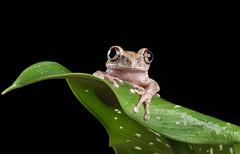 Big eyed forest tree frog