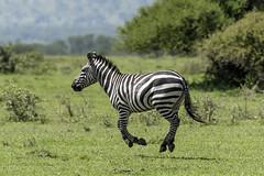 Levitating zebra (tmeallen) Tags: plainszebra equusquagga suspendedinair levitating fourfeetoffground savanna wild wildlife greengrass trees grasslands grumetigamereserve serengeti tanzania eastafrica equine