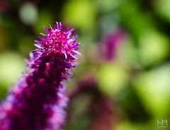 Farmleigh 18Jul2017 1-2 (Helen Mulvey) Tags: farmleigh dublin phoenix park ireland flowers macro extensiontubes deoth field trialanderror nikon d5100 50mmprime