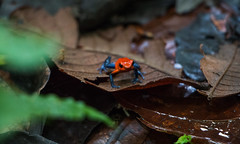 Poison Dart Frog (bonnie_krantz) Tags: gul frog frogs poisondartfrog bluejeansfrog strawberryfrog animal wildlife animalplanet amfibie panama costarica travel pilgiftsgroda strawberrypoisondart oophaga oophagapumilio groddjur strawberryposionfrog centralamerica