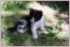 KELLY (Les photos de LN) Tags: chat chaton cat pet félin animaldomestique animaldecompagnie kitten