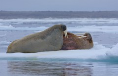 Walrus, just chillin! (Ian Mc Farlane) Tags: walrus svalbard