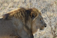 male Lion at close range (cirdantravels (Fons Buts)) Tags: felidae bigcat lion löwe leeuw panthera leo feline