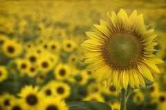 800_2293 sunflowers (snolic...linda) Tags: arkansas rualarkansas fujixt2 faulknercounty conway mayflower camprobinson sunflowers flowers yellow sky
