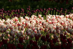 Ottawa Tulips 1 (josullivan.59) Tags: 2017 canada canon6d may ontario ottawa wallpaper 3exp travel texture tamron150600 outside sunrise sunriselight day detail flowers light lightanddark nicelight nature tulips 150 dramatic