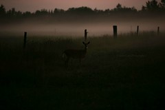 Doe in the mist... (Jenna.Lynn.Photography) Tags: doeadeer deer doe femaledeer evening dark fence fencepost misty mist foggy fog oasis mystical mysterious field hayfield depthoffield silhouette animal canon canon70200f28lll canon5dmarkiii grass goldenhour hay landscape landscapephotography nature northwoods naturephotography northernwisconsin outdoors photography sunset trees wisconsin wildlife wildlifephotographer wildlifephotography