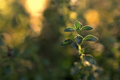 thyme stands still (joy.jordan) Tags: thyme leaves texture light bokeh nature backyard summer hbw