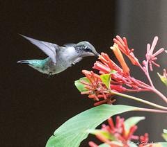 Ruby-throated Hummingbird (Archilochus colubris) (Mark Schocken) Tags: archilochuscolubris markschocken hummingbird lettucelakepark tampa florida firebush canon 80d canonef100400mmiiisusm