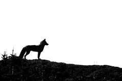 Standing Guard (Megan Lorenz) Tags: fox vulpesvulpes redfox animal mammal nature wildlife wild wildanimals silhouette travel 2017 newfoundland canada crossfox