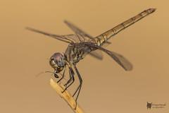 De Pitanza (PacoCampoy) Tags: odonato libelula insecto macro