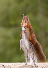 squirrel sitting on a Rising horse (Geert Weggen) Tags: animal closeup cute exploration mammal moss nature nopeople perennial photography plant red rodent squirrel summer race run meadow holiday trip ride winter horseracing horse jumping jockey steeplechasinghorseracing hurdle racehorse hurdlinghorseracing competition extremesports sport competitivesport horizontal midair stunt sweden geertweggen geert geertweggenhardekozweden bispgården jämtland ragunda