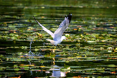 feeding time (david_sharo) Tags: nature wildlife gulls action moraine pennsylvania