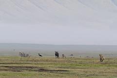 Hunting Hyena (Hector16) Tags: africa outdoors tanzania wildlife entamanu ngorongorocrater safari arusharegion tz ngorongoro highlands ngorongorohighlands ngc
