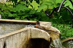 Robin Bathing 1/6 (thatSandygirl) Tags: bird americanrobin robin fountain water bathing wet bath splash outdoor nature animalavian green stone cement birdbath