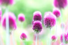 Joyful (Tomo M) Tags: flower summer purple light bright japan hokkaido asahikawa bokeh blur dof nature soft