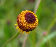 Helenium Autumn Lollypop (chris p-w) Tags: garden flickrsfantasticflowers heleniumautumnlollypop yellow
