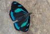 Perisama humboldtii  GUÉRIN-MÉNEVILLE, 1844 (PriscillaBurcher) Tags: perisama perisamahumboldtii nymphalidae brushfootedbutterfly mariposasdecolombia butterfliesfromcolombia l1330571