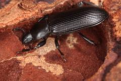 Menephilus cylindricus (chug14) Tags: animalia arthropoda hexapoda insecta coleoptera tenebrionidae tenebrioninae tenebrionini tenebriocylindricus menephiluscylindricus unlimitedphotos