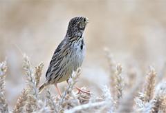 The Bunting. (pstone646) Tags: bunting bird nature fauna wildlife closeup animal kent oats bokeh ngc