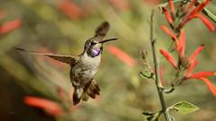 A Little Tease (vgphotoz) Tags: vgphotoz alittletease usa hummingbird birds nature arizona prettybird flowers purple teaseme yourbestoftoday