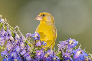 close up of a green finch