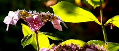 Last Of The Light (acwills2014) Tags: hydrangea lacehead lace laceheadhydrangea sunlight bokeh evening transulcent