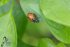 Macro-LadyBugs_52 (ZieBee Media) Tags: ladybug garden