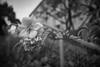Our roses in full bloom - Walk to bus stop in Totsuka JRC 20170628 (Rick Cogley) Tags: 2017 cogley fujifilmxpro2 23mm 1500sec iso200 expcomp03 whitebalanceauto noflash programmodemanual camerasnffdt23469342593530393431170215701010119db2 firmwaredigitalcameraxpro2ver310 am wednesday june rainy tsuyu summer rainyseason f28 apexev120 focusmodemanual lenstypexf23mmf2rwr yokohama totsuka kanagawa japan jp