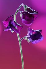 Purple Sweet Pea (There and back again) Tags: flower macro sweetpea purple