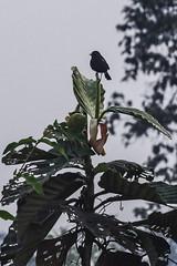 pied bush chat (Saxicola caprata) (Keith Kelly) Tags: anlongklong asia bird cambodge cambodia kh kampuchea keithkelly krakor pursatprovince saxicolacaprata southeastasia country countryside farmland keithakelly piedbushchat rural pouthisat